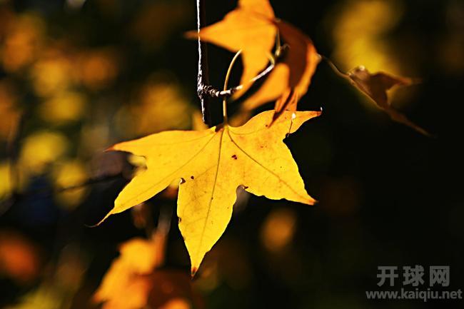回到办公室,我把树叶摆在桌上,那耀眼的色彩令我兴奋联想。叶子枯黄了,你飘向了哪里?忽地想起那首委婉深情的老歌绿叶对根的情意。不要问我到哪里去,我的心依着你;不要问我到哪里去,我的情牵着你,我是你的一片绿叶,我的根在你的土地,无论我停在哪片云彩,我的眼总是投向你